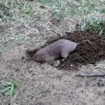 僅か数分で穴を掘る掘削機のようなホリネズミがスゴイ!