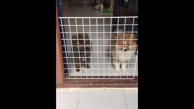 フェンスに閉じ込められたと勘違いした2匹のポメラニアンが可愛すぎ!
