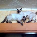 足場の狭い梁の上ですれ違いが出来ずに立ち往生する猫たち