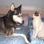 シベリアンハスキーが奇妙な犬であることを証明する愉快な写真 20枚