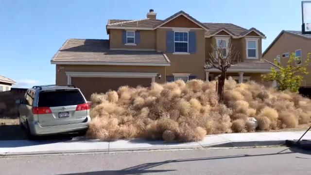 タンブルウィードが大量発生!・・・家を覆い尽くす凄まじい光景