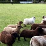 牧羊犬になるのは見た目よりも難しいことを証明することになった犬