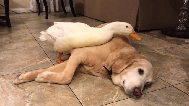 「私の親友に気安く触らないで!」・・・飼い主を寄せ付けない独占欲の強いアヒル