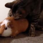 お気に入りの場所をモルモットに取られてイライラを隠せない猫