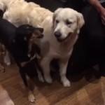 牧羊犬にヒツジと勘違いされ、行く手を阻まれるゴールデンレトリバー