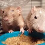 ご飯を奪い合う2匹のネズミの争奪戦がおもしろ可愛い!