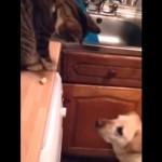 ラブラドールにポップコーンをお裾分けする気まぐれな猫