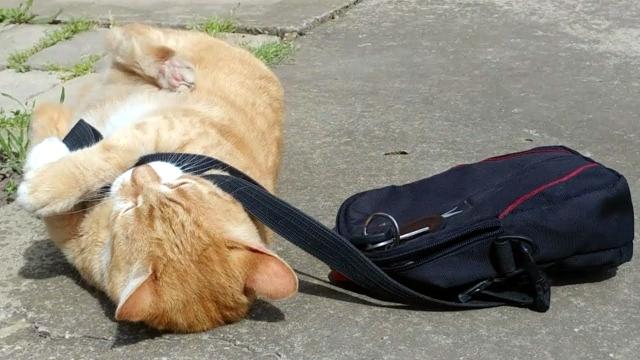 パパさんの通勤カバンを奪い、お仕事に行くのを阻止する猫