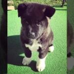 生後10週齢から6ヶ月間、秋田犬の成長記録を写真撮影・・・犬の半端ない大きさに驚き!