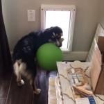 犬用戸口に大きなボールが閊えて外に出られない犬