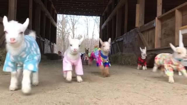 カラフルなパジャマ姿で元気に駆け回る赤ちゃんヤギたちが可愛すぎ!