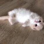 心を溶かされてしまいそうな愛らしいマンチカンの子猫♡