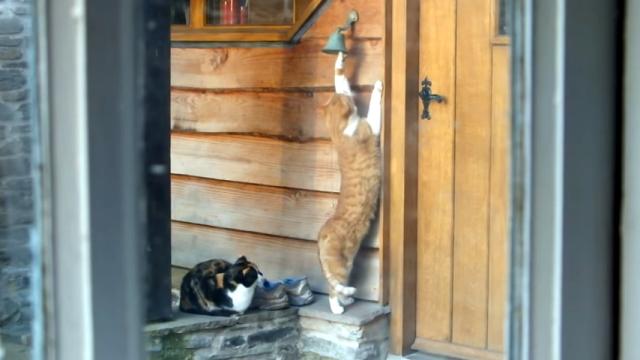 ご飯を貰いにやって来ると、ドアベルを鳴らして家主に知らせる礼儀正しい野良猫