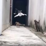 まるで忍者!!・・・信じられない身のこなしで仲間の攻撃をかわす猫