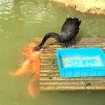 生簀の鯉にせっせとエサを与える奇妙なブラック・スワン