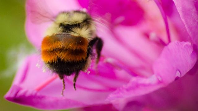 もふもふで丸いお尻が可愛いマルハナバチの写真集 15枚