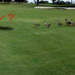 アメリカ・フロリダ州のゴルフ場でゴルファーも驚く珍事が発生!