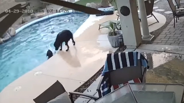 溺れかけている仲間を救助するラブラドール犬の感動的な光景