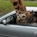 サファリパークで車の窓に顔を突っ込んだキリン、その直後に起きたまさかの出来事!