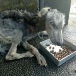 痩せ細りボロボロになった野良犬を保護→10ヶ月後には見違える程の姿に・・・