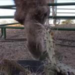 鋭いトゲのあるサボテンをむしゃむしゃ食べるラクダが凄い!