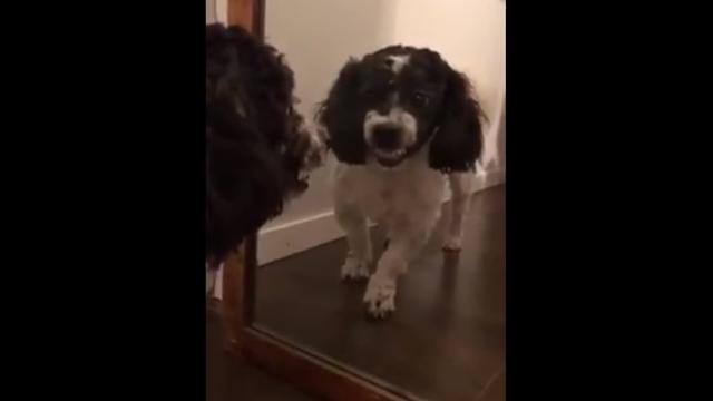 鏡に映る自分の姿を怪しいヤツと勘違い・・・睨み合うワンコがおもしろい!