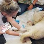 空港で産気づいたラブラドール犬・・・ゲート前で元気な赤ちゃんを出産!(アメリカ)