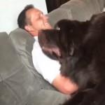 大きな体で飼い主にスリスリを要求する甘えん坊のニューファンドランド犬