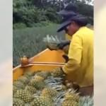機械を頼らず手作業でパイナップルの収穫を行う人々の熟練度がスゴイ!