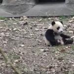 お気に入りのオモチャを片付けられてしまい、拗ねる赤ちゃんパンダ