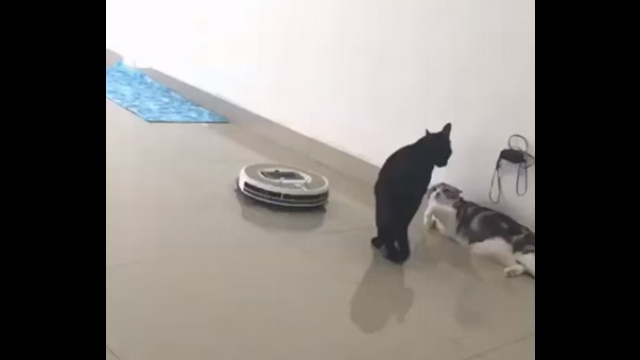 同居猫とケンカ中、近づいて来たルンバを器用に押し退ける黒猫