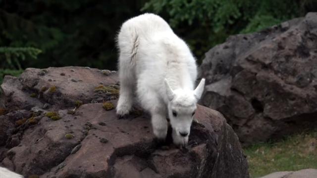 お母さんに見守られて崖登りの練習をする可愛いヤギ