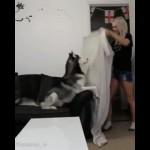 飼い主の姿が突然消えたときの不思議そうな犬の反応がおもしろい!
