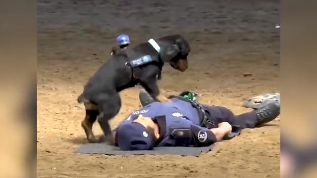 心肺蘇生法をマスターしたマドリッドの警察犬(スペイン)