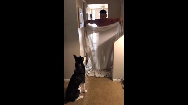飼い主の姿が突然消えてしまい驚きを隠せないハスキー犬