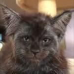 人間のような凛々しい顔をした子猫が話題に