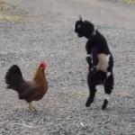 ケンカを始めた赤ちゃんヤギとニワトリ・・・果たして軍配はどちらに?