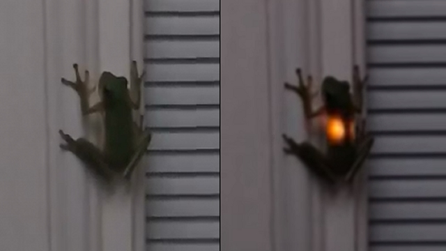 ホタルを飲み込みお腹から光を放つカエルの珍しい光景
