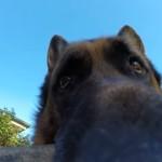 GoProを咥えて離さないジャーマンシェパード・・・どあっぷ顔が可愛い!