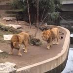 うっかりミスをするライオンのドジっぷりがおもしろい!