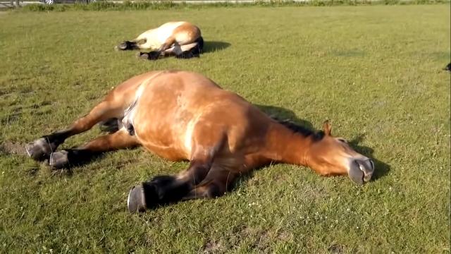 芝生の上で気持ち良さそうに昼寝をする馬