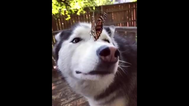 鼻の上に止まった蝶々に戸惑うハスキーがおもしろ可愛い!