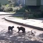 対峙する二匹の野良猫に横からちょっかいを出す奇妙なカラス