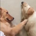 同居犬にマッサージをしてもらい気持ち良さそうなゴールデンレトリバー