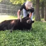 ブラッシングのこの上ない心地良さを満喫する甘えん坊のクマ(アメリカ)