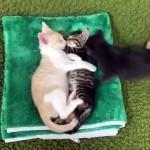 仲良く寄り添ってお昼寝する2匹の子猫の間に無理やり割り込む子猫