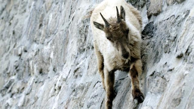 ダムを登るアイベックスの信じられない程の登攀能力
