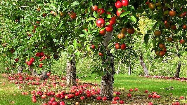 リンゴの実がなり過ぎると、こんないい事があるらしい(ノルウェー)