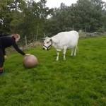 ボールを追いかけてはしゃぎ回る犬のような牛がおもしろ可愛い!