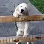 飼い主をお出迎えするゴールデンレトリバー・・・目を細めた嬉しそうな表情が愛らしい!